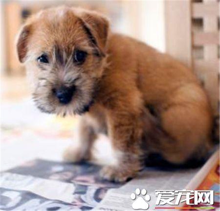 罗福梗幼犬的怎么护理 不需要频繁的洗澡